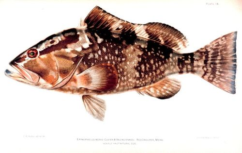 Red grouper Epinephelus_morio